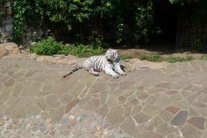 Белый тигр в московском зоопарке