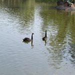 Черные лебеди в зоопарке