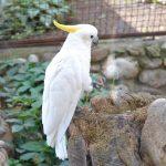 Попугай Какаду в зоопарке