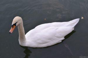 Белый лебедь в зоопарке