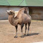 Верблюд в московском зоопарке